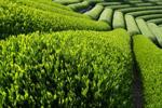 Зеленый чай помогает отражать рак кожи